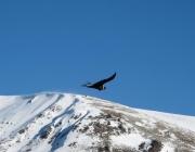 patagonia-condor