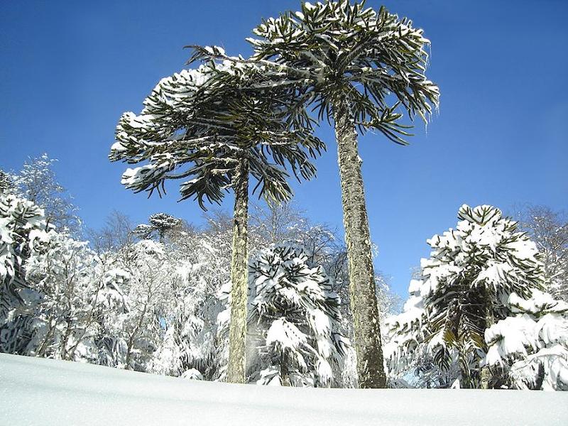 Araucaria-trees