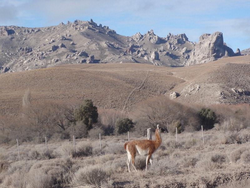 alpaca in patagonia