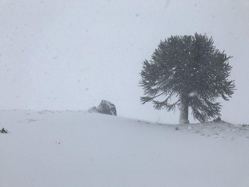 araucaria tree