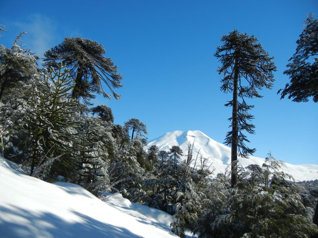araucariatrees-southamerica-chile-argentina-snow