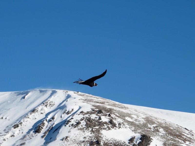 condor in argentina